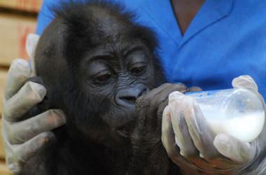 Gorilla Rehabilitation