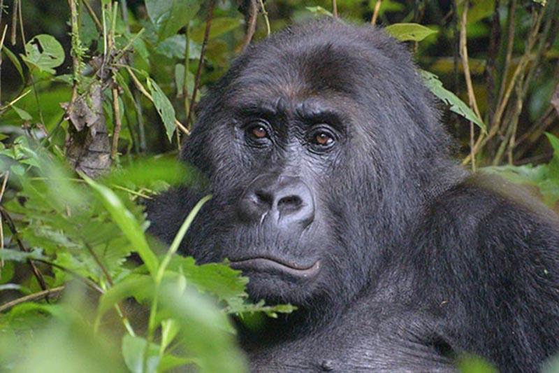 Drastische afname Grauer gorilla's