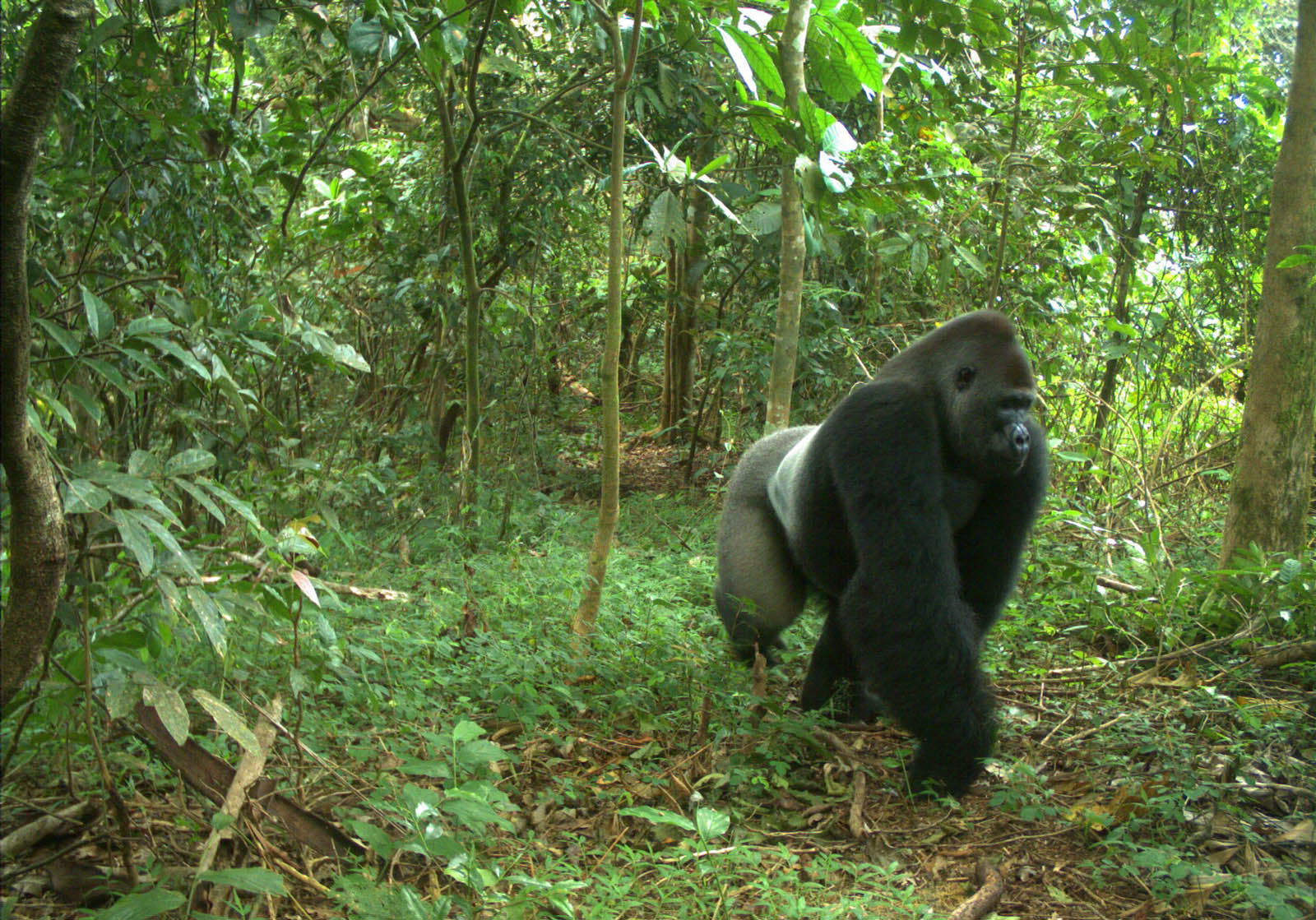 cross-river-gorilla-slideshow