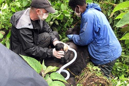 GD-Vet Team Gorilla Doctors 500x333