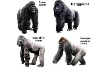 Gorilla Species
