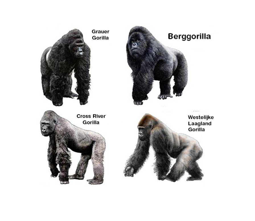 Gorilla Species